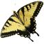 Papilio_glaucus_v1x1